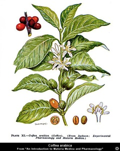 coffea_arabica_botanical_drawing1